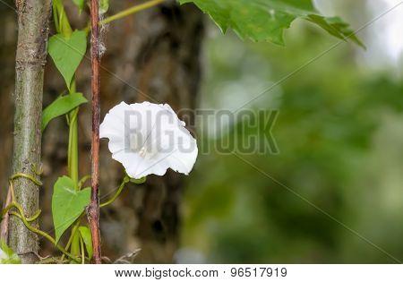 Calystegia Flower