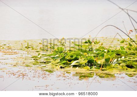 Yellow Nuphar Lutea