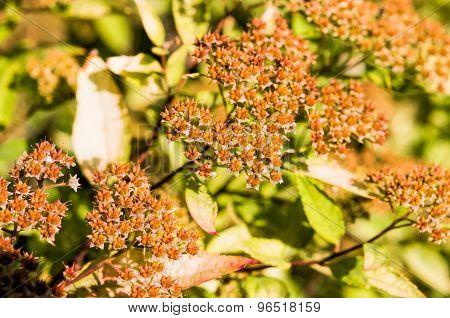 Spiraea Japonica Fruits