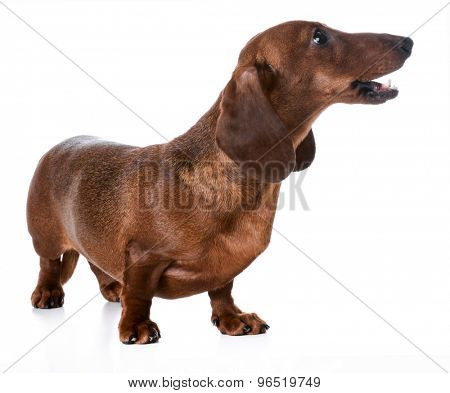 dog barking - miniature smooth dachshund barking on white background