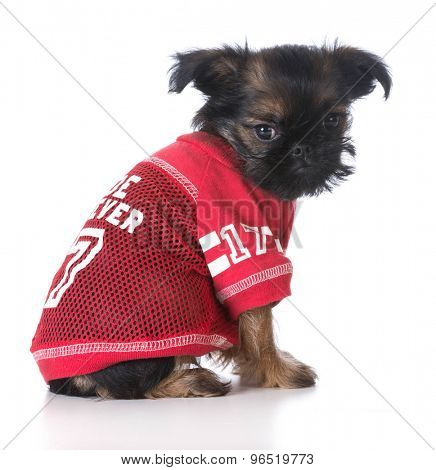 Young Brussels griffon puppy wearing red sports jersey