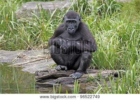 A Gorilla Youngster Is Sitting By Water
