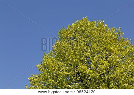 Trees With Fresh Leaves.
