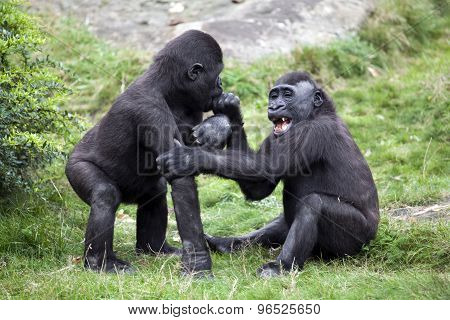 Two Young Gorillas Playing In The Grass