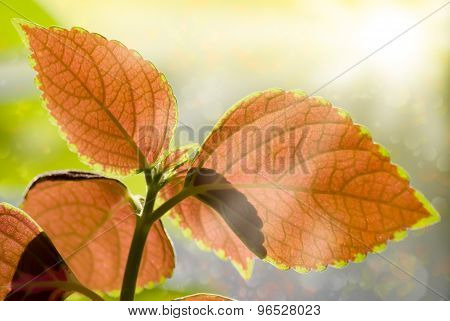 Beauty Colorful Leaves And Sun Light Pours Through. Purple, Green And White Colors. Spring Or Summer
