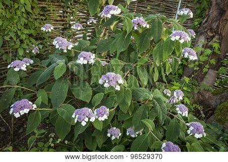 Hydrangea sargentiana flower closeup in a garden