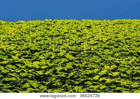 Green Leaves on Wall and Blue Sky