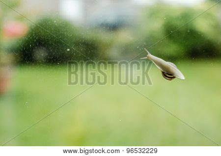 Underside View Common Garden Snail Glass Window Horizontal