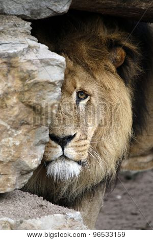 Lion Looking From Behind A Rock