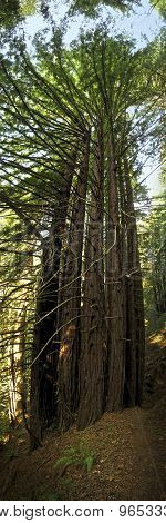 Cluster of redwoods