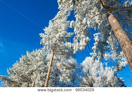 Winter Forest With Snow-covered Pines