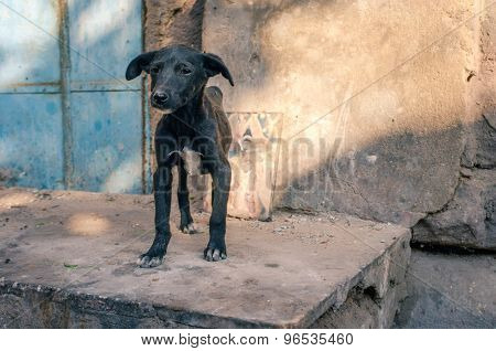 Skinny puppy on street with picture of holy person in background. India's streets are full of stray dogs all ages.