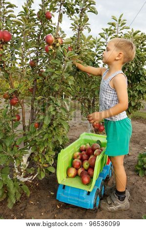 Kid Collects  Harvest Of Apples And Adds Into A Truck.