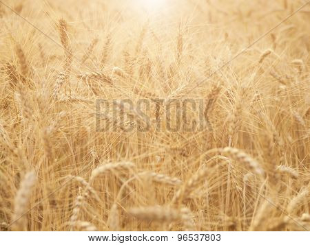 Ears Of Wheat Ripening In The Sun.