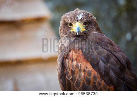 close up eagle