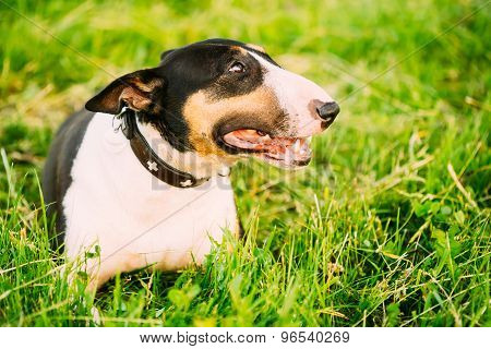 Pets Bull Terrier Dog Portrait At Green Grass