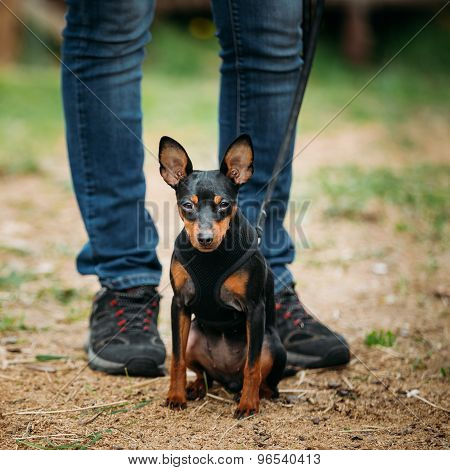 Tan Dog Miniature Pinscher, Zwergpinscher, Min Pin