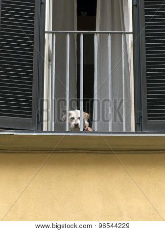Lonely Italian dog