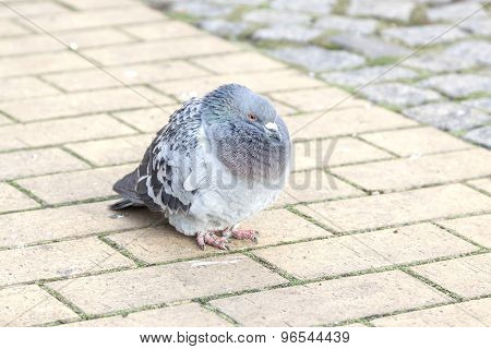 Old Pigeon Walking On The Pavement.