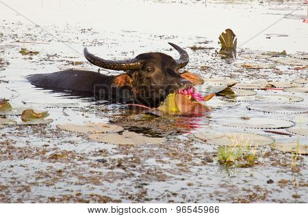 Thai Water Buffalo Cooling During The Day