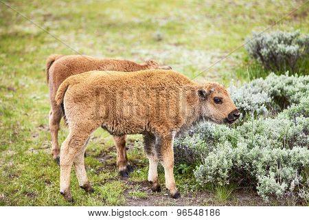 American Bison Baby Calf