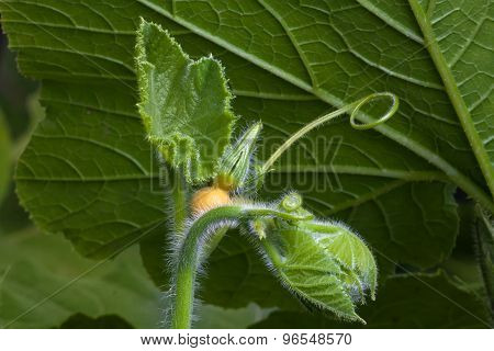 Bud Of Pumpkin Flower