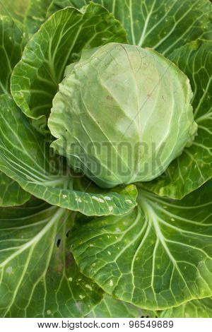 Head Of Cabbage In The Garden