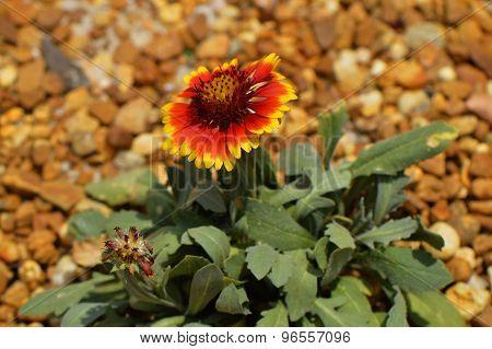 Blanket flower Latin name gillardia pulchella