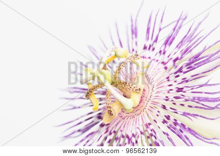 Stamen And Pistil Of Passion Flower Close Up
