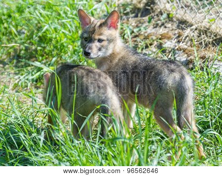 Golden Jackal (canis Aureus) Puppies