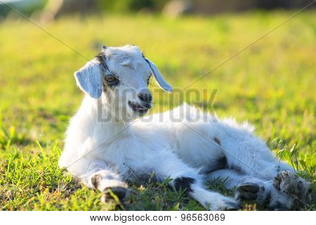 Little Newborn Lamb In Springtime Resting