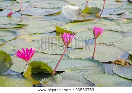 Water Lilies Floating On A Lake