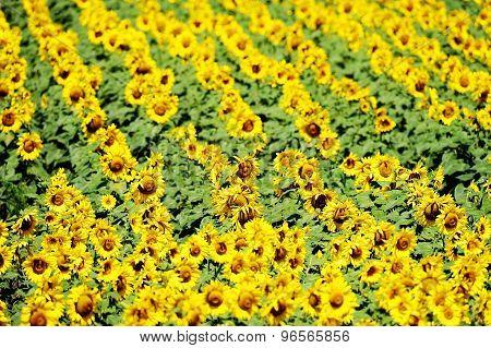 Sunflower Field In July