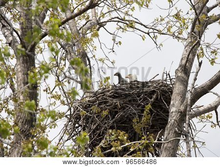 Eagle and Eaglet in Nest