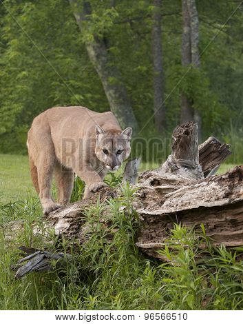 Cougar on Fallen Log