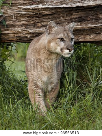 Cougar Coming Out in the Open
