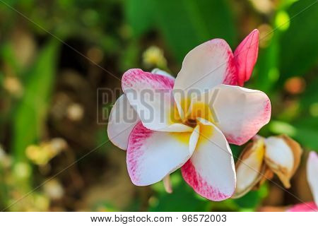 Plumeria spp. (frangipani flowers, Frangipani, Pagoda tree or Temple tree) on natural light backgrou