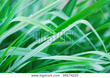 Grass With Water Drops, Toning In Cold Tones