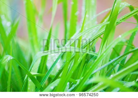 Juicy Green Grass In Drops Of Water