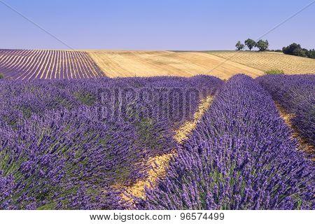 Plateau Valensole, Provence: Lavender Fields
