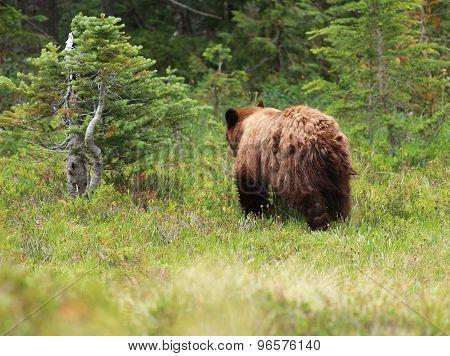 Juvenile Black Bear Walking Away