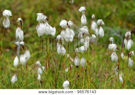 Common Cotton Grass - Eriophorum angustifolium