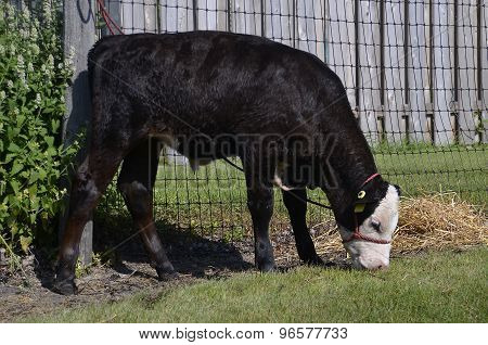 Calf tied to a fence with a halter