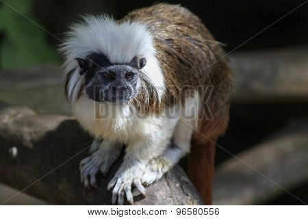 Cotton-topped Tamarin (saguinus Oedipus)