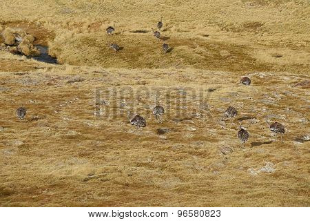Group of Rhea on the Altiplano