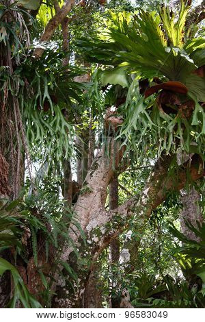 Staghorn ferns on rainforest trees
