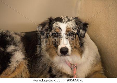 Australian shepherd purebred dog