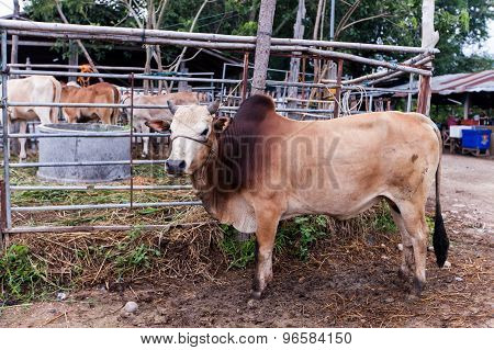cow in the farm.