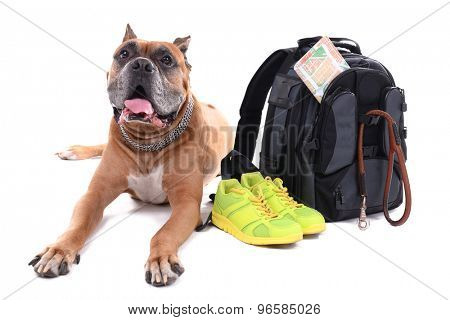 Beautiful Boxer Dog with backpack isolated on white