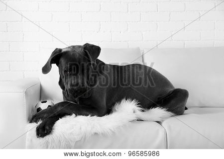 Cane corso italiano dog lying on sofa at home